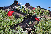 great frigatebirds, Fregata minor palmerstoni, male courtship display with inflated throat pouch; females with white breast; Eastern Island, Midway Atoll, Midway National Wildlife Refuge, Papahanaumokuakea Marine National Monument, Northwest Hawaiian Islands, USA ( North Pacific Ocean )