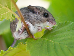 August 6, 2017 - Oregon, U.S - A Pacific jumping mouse looks out from a hiding spot in a hazelnut tree in an orchard near Roseburg. The mouse was disturbed by watering in the orchard and took to the tree to hide. (Credit Image: © Robin Loznak via ZUMA Wire)