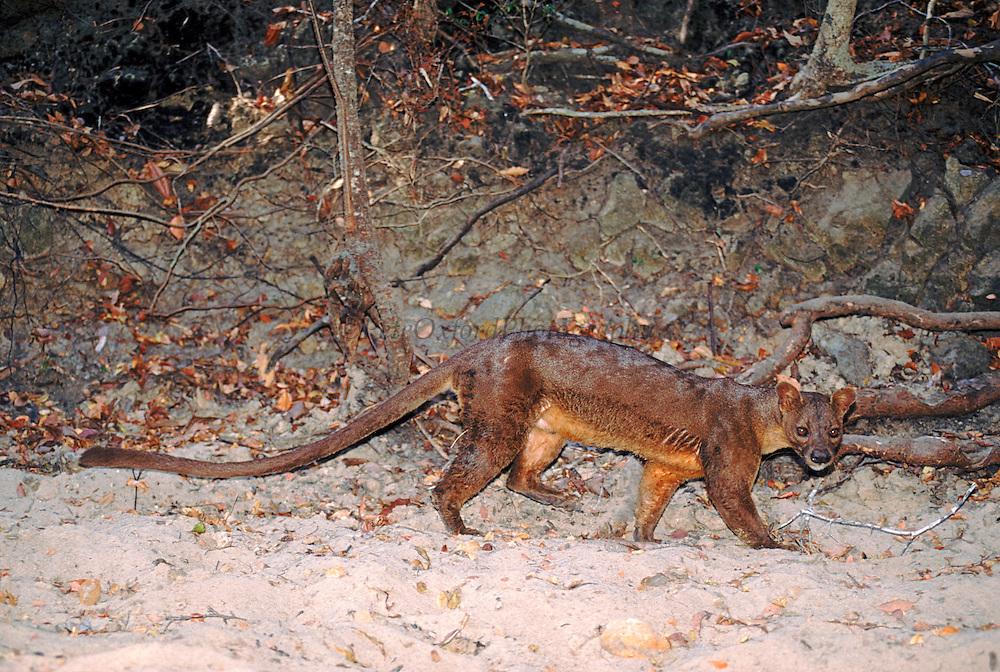 Fossa (Cryptoprocta ferox) walking in sand along forest border, endangered, Madagascar