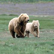 Alaskan Brown Bear, (Ursus middendorffi) Mother and cub running. Katmai National Park. Alaska.