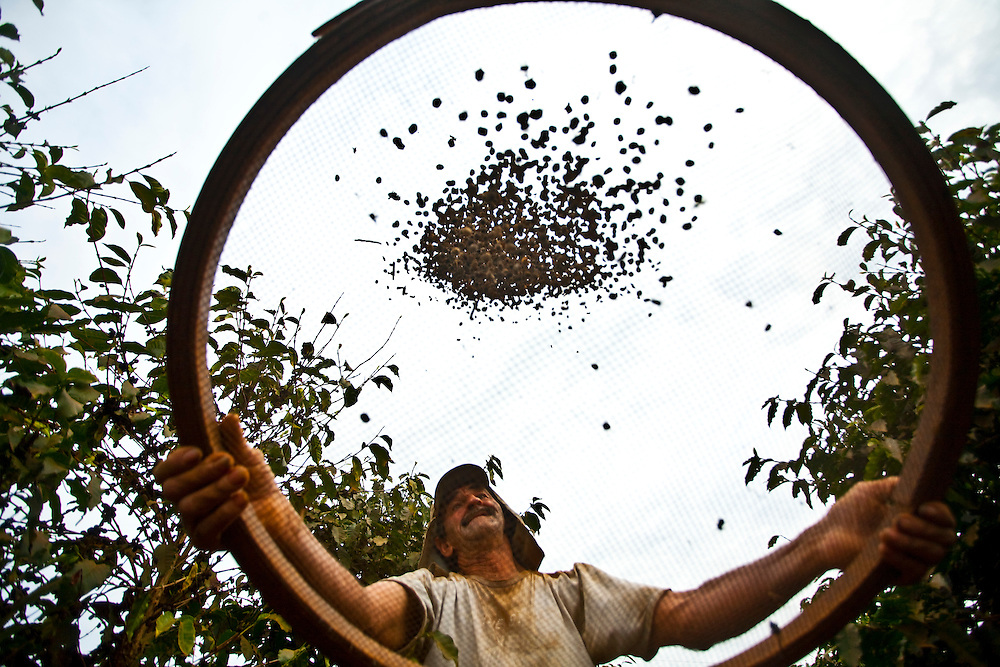Paraguacu_MG, Brasil...Homem trabalhando na colheita de cafe em Paraguacu...A man working coffee crop in Paraguacu...Foto: JOAO MARCOS ROSA / NITRO