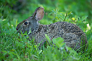 Marsh rabbit (Sylvilagus palustris)<br /> Little St Simon's Island, Barrier Islands, Georgia<br /> USA<br /> HABITAT & RANGE: Marshes & swamps of coastal regions. Eastern & Southern USA