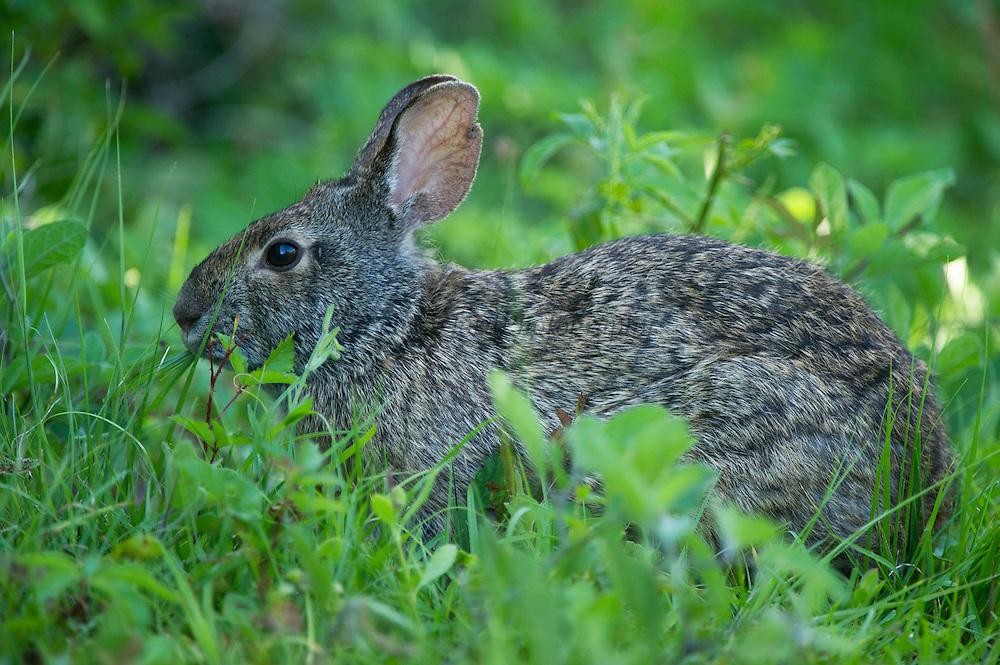 Marsh rabbit (Sylvilagus palustris)<br /> Little St Simon's Island, Barrier Islands, Georgia<br /> USA<br /> HABITAT & RANGE: Marshes & swamps of coastal regions. Eastern & Southern USA
