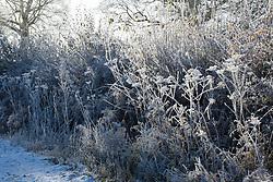Frosty winter hedgerow with seedheads of Hogweed and Bracken. Heracleum sphondylium, Pteridium aquilinum