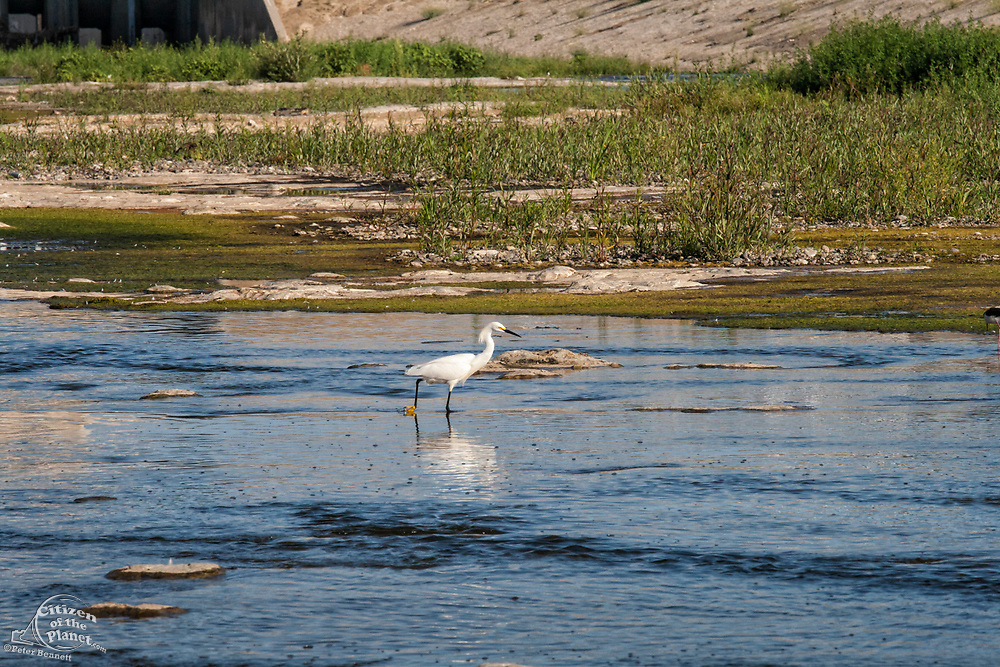 A Snowy egret (Egretta thula) in the Los Angeles River. Sepulveda Basin Recreation Area, Los Angeles, California, USA