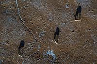 Tibetan antelope or chiru, Pantholops hodgsonii, three individuals shot from above on the Tibetan Plateau, Yushu, Haixi, Qinghai, China