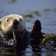 Sea Otter resting in a kelp bed during the spring in California.