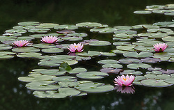 Water Lily, pink #5