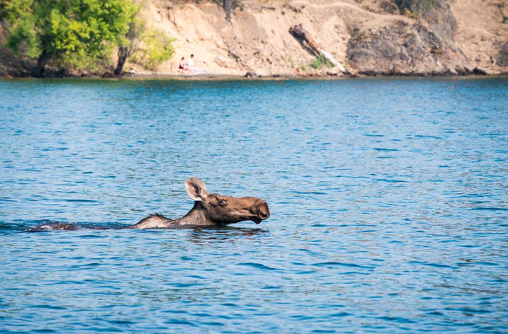 Female moose protecting her calf in Lake Coeur d'Alene, Idaho