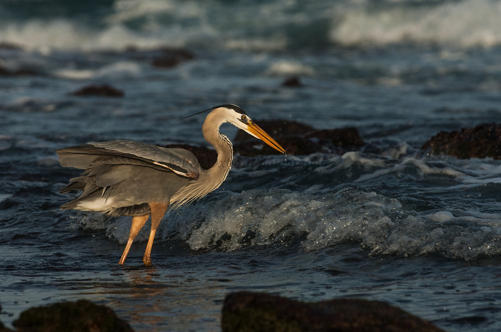 Great Blue Heron (Ardea herodias)<br /> Santiago Island, GALAPAGOS<br /> ECUADOR. South America<br /> RANGE; Alaska, USA to Islands of Venezuela & Galapagos