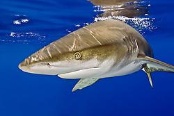 oceanic whitetip shark, .Carcharhinus longimanus, .Big Island, Hawaii (Pacific)