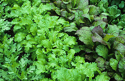 Oriental salad leaves growing at West Dean, Chichester including Red Giant Mustard and Pak Choi.