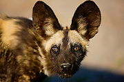 A close-up portrait of the face of an endangered African wild dog (Lycaon pictus),Khwai River, Moremi Game Reserve, Botswana, Africa