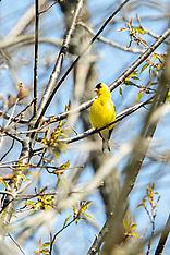 Passiformes (Perching Birds)