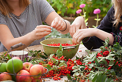 Sarah with friends and family stripping rowan berries