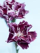Dianthus 'Camilla' - border carnation