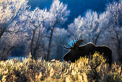 A large bull moose enjoying the last warmth of Autumn in Grand Teton National Park.