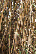 Close up of the Reeds on the banks of the Jordan River