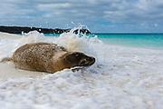 Galapagos sea lion, Zalophus californianus wollebaeki, cooling off in waves on a sandy beach.
