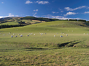 View of sheep grazing in a paddock, MacKenzie Country, along Highway 79 near Fairlie, New Zealand.