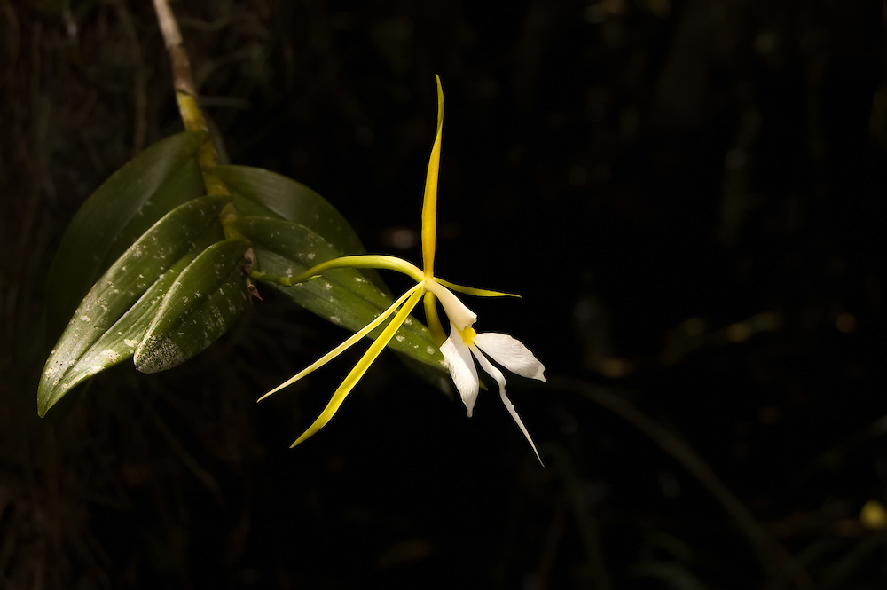 This unusual orchid has a very large flower that is almost impossible to find fully open. It has a scent emitted only at night and is always found in the thickest parts of the swamps.