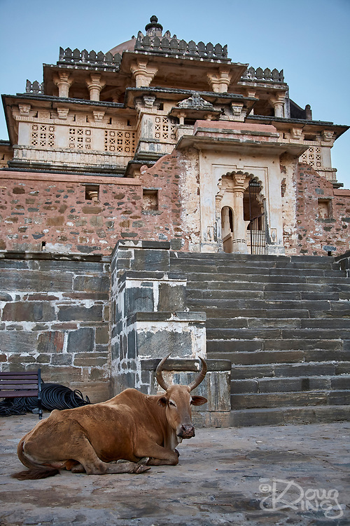 A sacred cow reclines in the village square in front of the Parsvanath Jain Temple within the fort complex at Kumbhalgarh Rajasthan India.