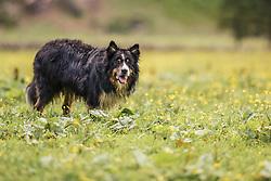 THEMENBILD - ein Border Collie (Arbeits- und Hütehunden aus Großbritannien) lauert gespannt in einer Wiese, aufgenommen am 23. Juni 2019, am Hintersee in Mittersill, Österreich // a Border Collie (working and herding dogs from Great Britain) lurks tense in a meadow on 2019/06/23, Hintersee in Mittersill, Austria. EXPA Pictures © 2019, PhotoCredit: EXPA/ Stefanie Oberhauser