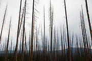 Fir trees on the site of one of Yellowstone National Parks great fires. The great fire of 1988 devastated huge swathes of forest. In the park, the natural order of life rules. If trees fall, they are left where they are, if a tress falls across a road, the dead tree is cut but only up to the edge of the road. Here we see the new growth beneath the burnt older woods. New replacing old, the regeneration of this wild land.
