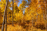 Aspens in All Their Glory in Wyoming