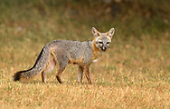 Female Gray Fox taking some food to her den