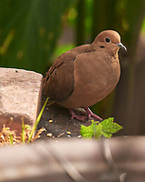 Mourning Dove. Image taken with a Leica SL2 camera and Sigma 150-600 mm sport lens.