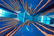 JPN, Japan: Okinawa Churaumi Aquarium, praeparierter Krake in einer Glasvitrine, Ocean Expa Park, Okinawa, Okinawa | JPN, Japan: Okinawa Churaumi Aquarium, primed octopus in showcase, Ocean Expo Park, Okinawa, Okinawa |