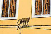 30 JANUARY 2013 - PHNOM PENH, CAMBODIA:   A monkey scampers along power lines in downtown Phnom Penh, Cambodia. There are still a few troops of feral monkeys in Phnom Penh.   PHOTO BY JACK KURTZ