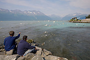 Alaska. Visitors watch Steller's Sea Lions (Eumetopias jubatus) feasting on pink salmon by swallowing them whole, in Port Valdez.