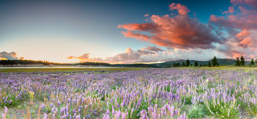 """""""Lupine at Boca Reservoir Sunset 6"""" - Panoramic photograph of Lupine wildflowers growing along the shore at Boca Reservoir in Truckee, California."""