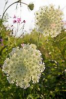 Wild flower, Daucus carota, queen anne's lace, Machais, Maine, USA