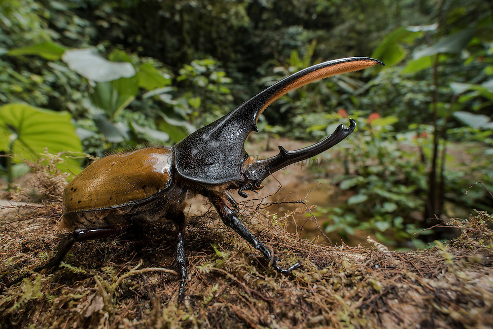 Hercules Beetle (Dynastes hercules)<br /> Mashpi Rainforest Biodiversity Reserve<br /> Pichincha<br /> Ecuador<br /> South America