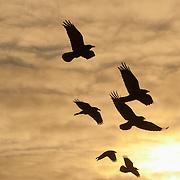 Common raven (Corvus corax) in flight near Cape Churchill, Manitoba, Canada.