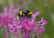 Cuckoo Bumblebee - Bombus sylvestris