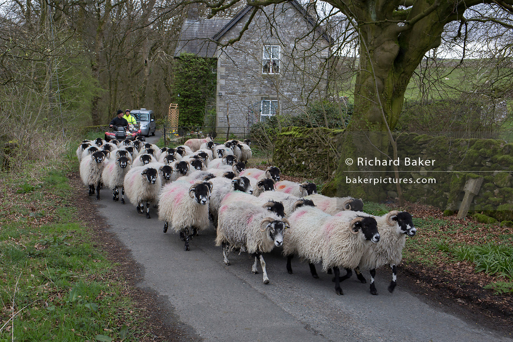 Followed by shepherds, a flock of sheep make their way along a country lane, on 13th April 2017, in Horton in Ribblesdale, Yorkshire, England.