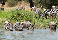Grant's Zebras, Equus quagga boehmi, and Wildebeests, Connochaetes taurinus, drink from a pond in Tarangire National Park, Tanzania