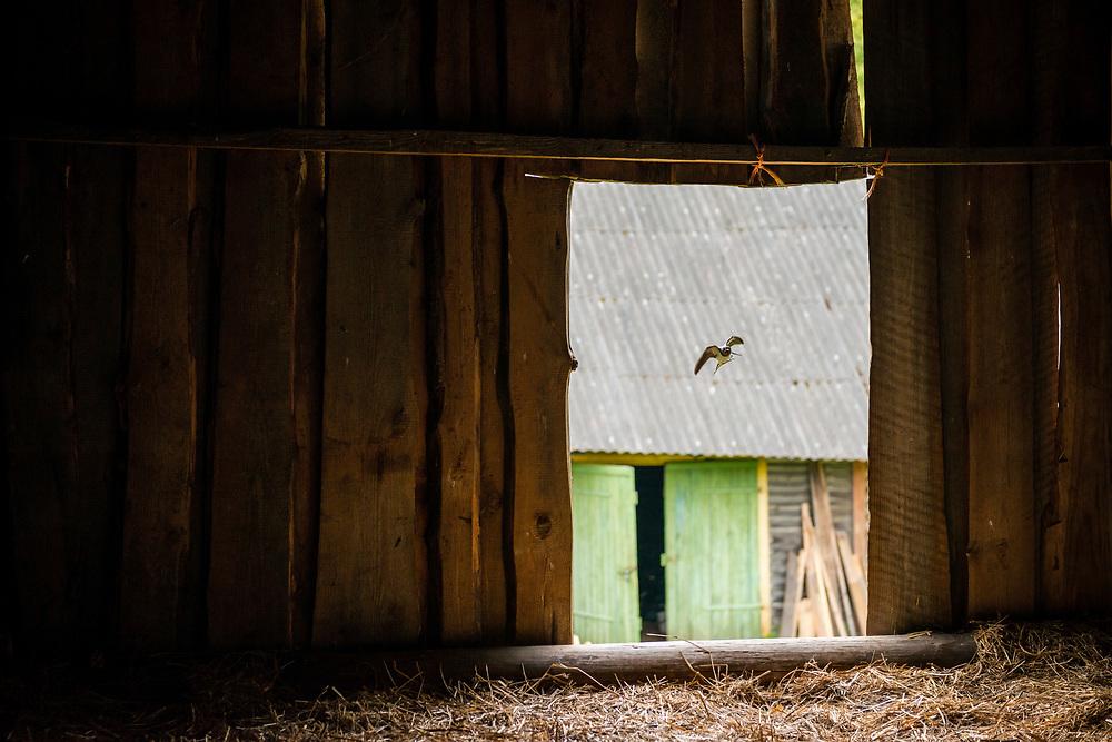 Värska, Estonia - July 20, 2015: A barn swallow makes its approach into the hayloft of a barn near Värska, Estonia. A twig or piece of grass is in its mouth.