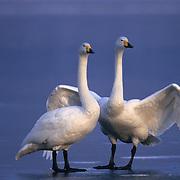 Whooper Swan (Cygnus cygnus) on frozen Lake Kussharo in Japan.