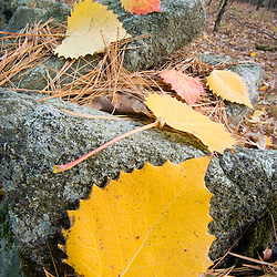 Aspen leaves on an old stone wall in Dunstable, Massachusetts.
