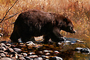 Cinnamon Black Bear approaching the water in Grand Teton National Park in the fall. Painterly artistic effects are applied to a photograph by Mike R. Jackson