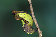 Papilio antenor Butterfly, pupae, chrysalis, hanging from stem, Madagascar