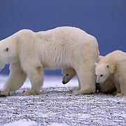 Polar Bear, (Ursus maritimus)  Mother and cub. Cape Churchill, Manitoba. Canada.