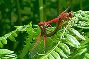 sympetrum Insects, bugs, and arachnids among other invertebrates in southern BC and Vancouver Island in the Pacific North-West.