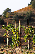 "Vines pruned on stakes, ""echalat"". Mas Igneus, Gratallops, Priorato, Catalonia, Spain."