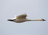 Photo Randy Vanderveen.near Lake Saskatoon, Alberta.11-04-26.A trumpeter swan and its mate (not pictured) wing their way across the blue Peace Country sky Tuesday April 25 as they move to a different field to graze. Trumpeters are the largest waterfowl in North America.